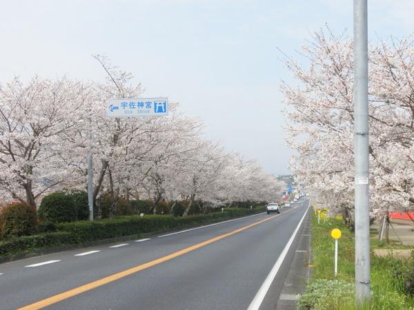 宇佐神宮前 国道10号線の桜