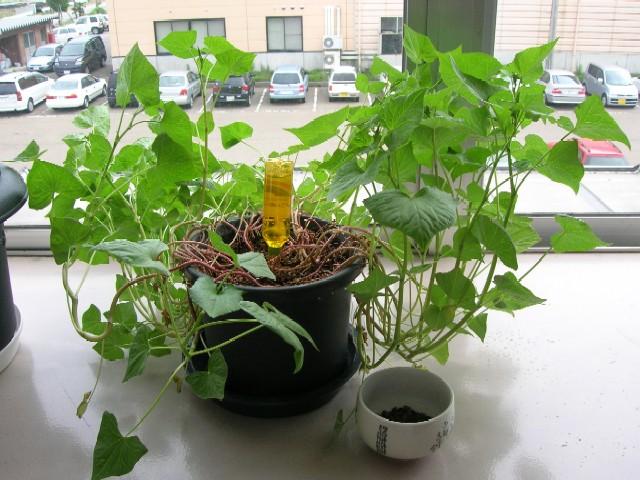 鉢の外に折れ曲がるように茎を伸ばしています。