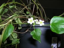 小指の先ほどもない小さな白い花です。