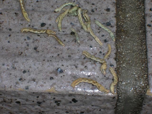 虫の大きさ、長さ2センチ・太さ2ミリほど、生まれたてかな?