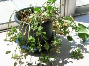 種を蒔いてから半年経っても花をつけるんです。