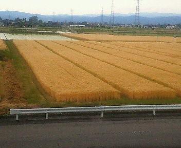 麦畑(大麦)