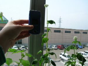 一番背丈の大きい苗に携帯を近づけてみました。大きさが分かるでしょうか?