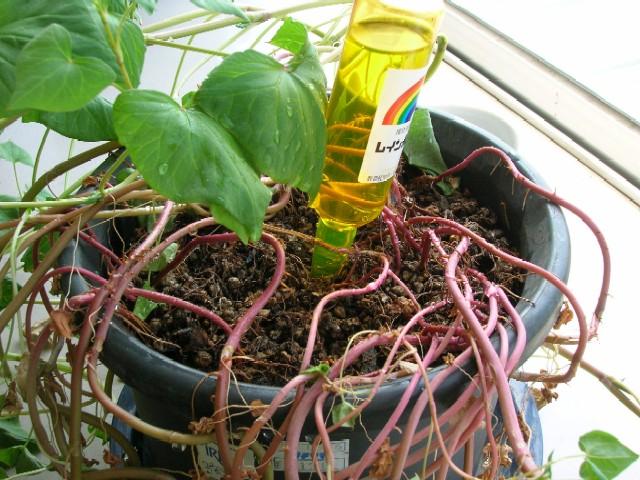 根本をアップにしてみました。赤い茎から根がたくさん出ております。