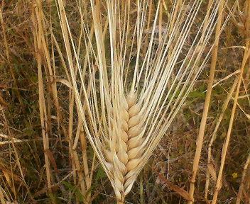 大麦の特徴は長いヒゲ