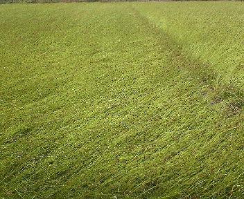 風になぎ倒されてしまったそば畑