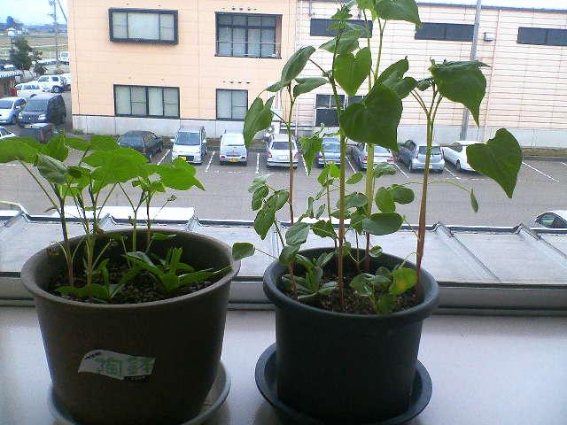 蕎麦がいつの間にか発芽してはるかに大きくなってしまいました