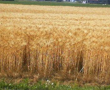 株全体が黄金色になっているので大麦