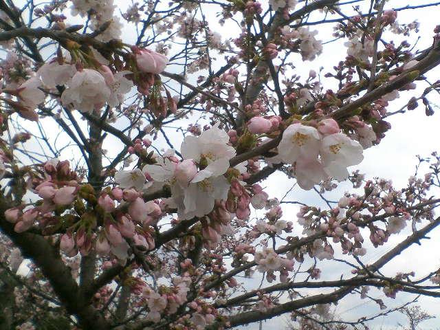 雪国にもようやく桜が咲き始めました。
