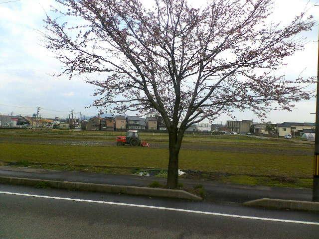 桜の木の向こう側では、田起こしも始まっていますね。トラクターが見えます。