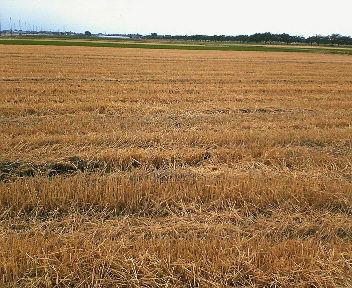 刈取りが済んだ小麦畑