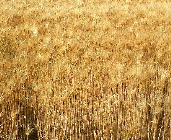 穂先が黒ずんでいないので小麦ではありません