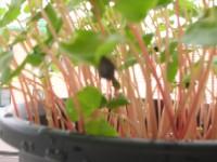 そば殻の帽子をまだ脱がない芽が一つ