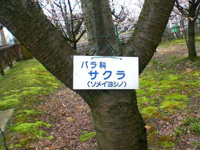 桜がバラ科だとは知りませんでした!公園の中の桜の木のUPです。