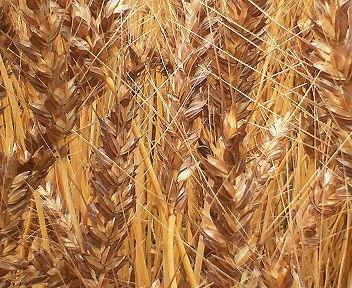 小麦だと思うのですが・・・