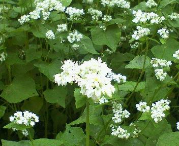 可憐な白い花、そばです。