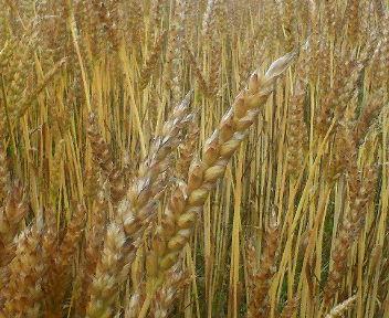 結実した小麦の穂先