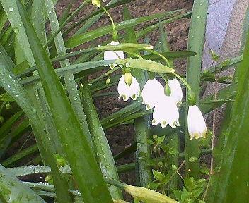 春とは思えぬ冷たい雨に濡れる可憐な白い花・・・名前が分りません。。。