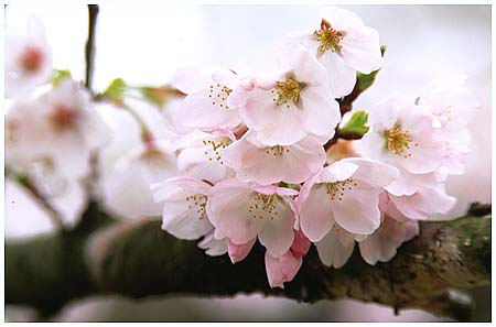姥桜 | 弥々*とはず語り - 楽天...