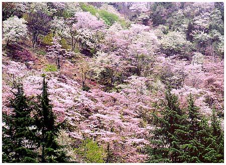 咲き誇りて ん???? だれじゃぁ!!!! 姥桜と笑うのはぁ!!!! っと言いつつ...