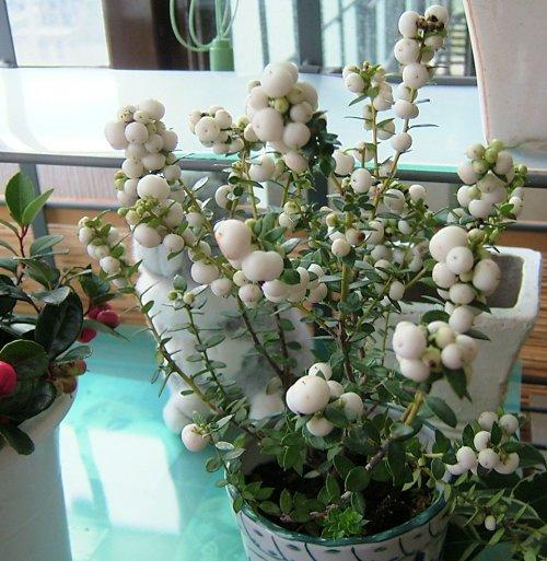 真珠の木、白61002