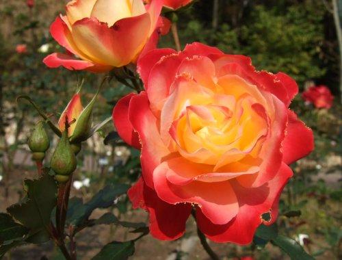 ハーブ園のバラ
