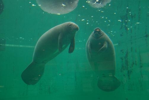 美 ら 海 水族館 ジュゴン