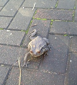 道端のカエル
