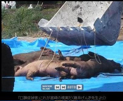 豚6.jpg