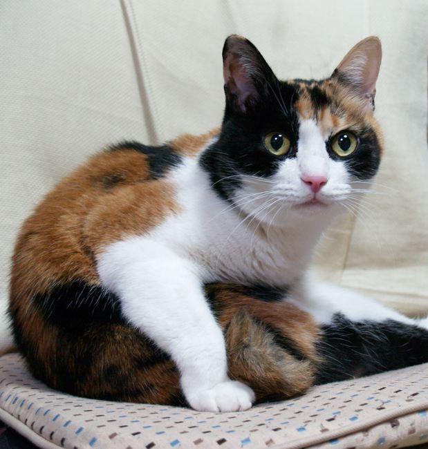 三毛猫の画像 p1_17