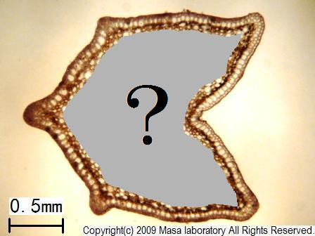 ドクダミ 茎 R QC1 2009/06/16      MASA ラボ