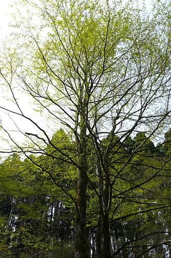 カツラ (植物)の画像 p1_28