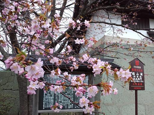 松前桜2.jpg