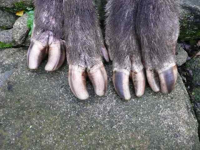 イノシシ 爪