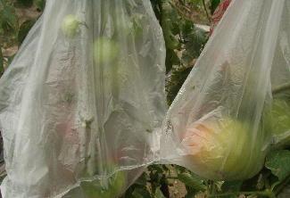 トマト袋かぶせ