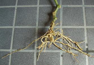 キュウリの根