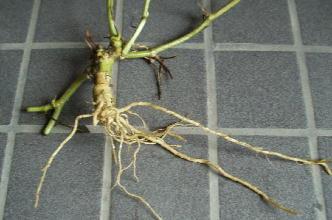 スイカの根