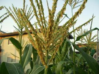 トウモロコシの雄花