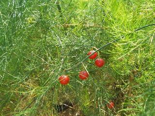 アスパラの赤い実