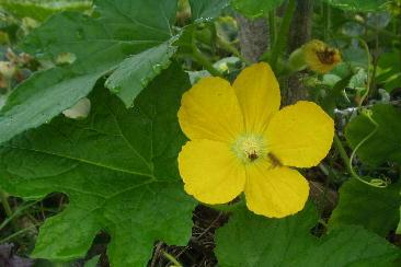 カモーリの花