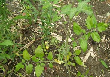 脇芽のミニトマト