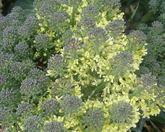 ブロコリーの花