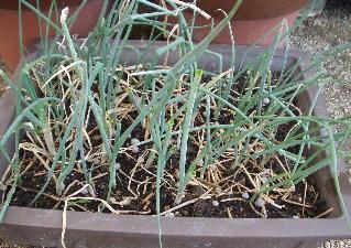 ねぎ鉢植え