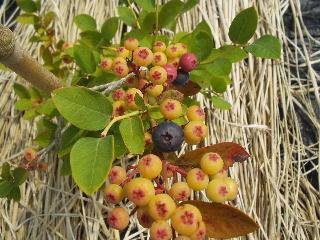 ブルーベリー収穫1