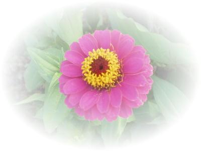 ヒャクニチソウ花