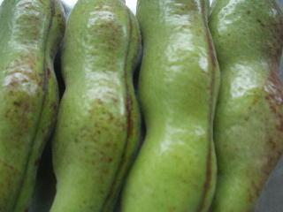 空豆収穫.jpg