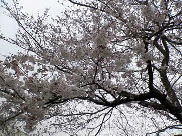 染井吉野2011