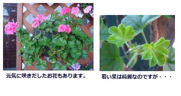アイビーゼラニウムが病気:お花いっぱいベストワン