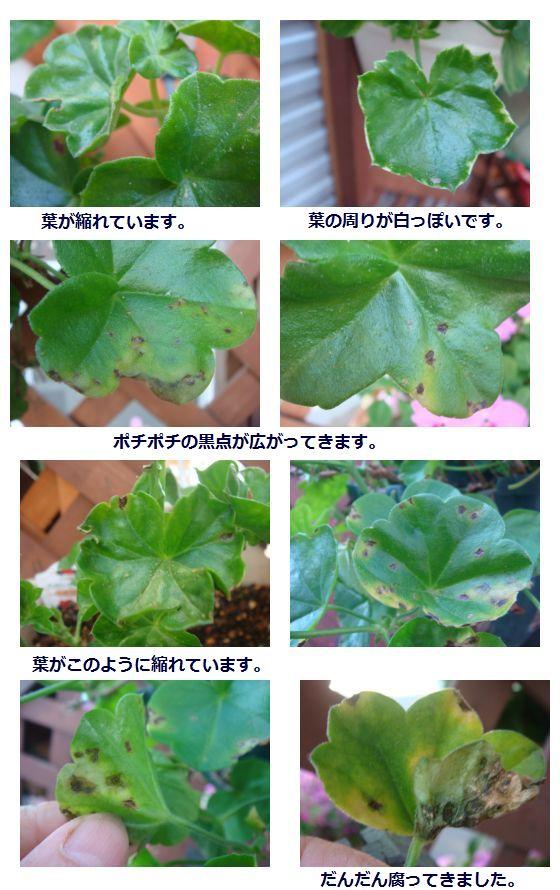 病気のアイビーゼラニウムの葉