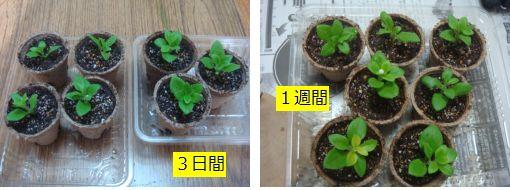 芽 ペチュニア 挿し